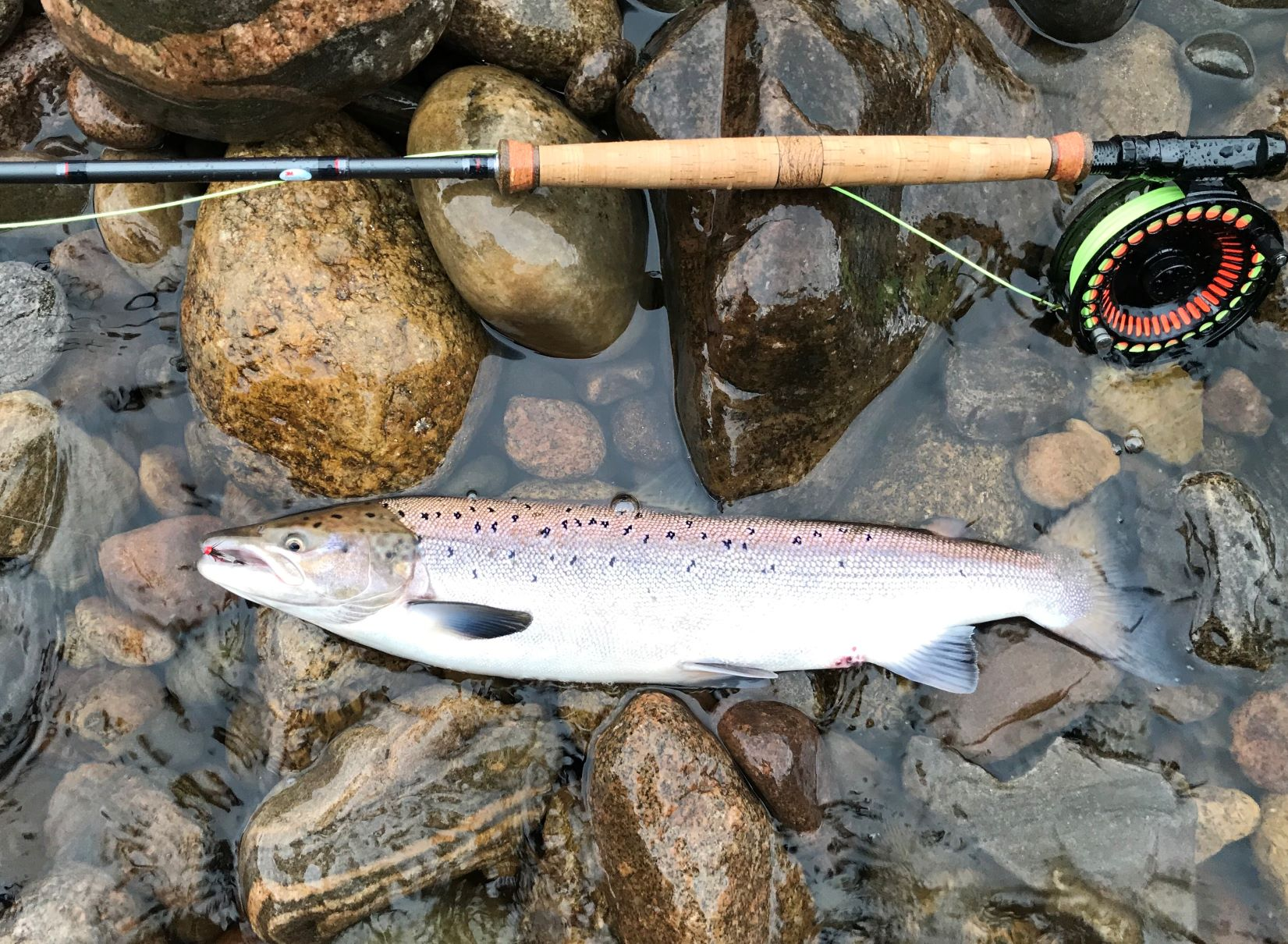 One of three fish hooked and released from Roan Pool for Leslie Tyson on Altyre Estate, River Findhorn