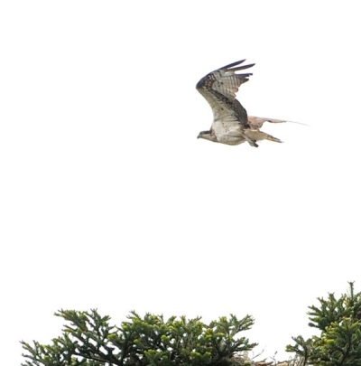 Osprey flying over its nest