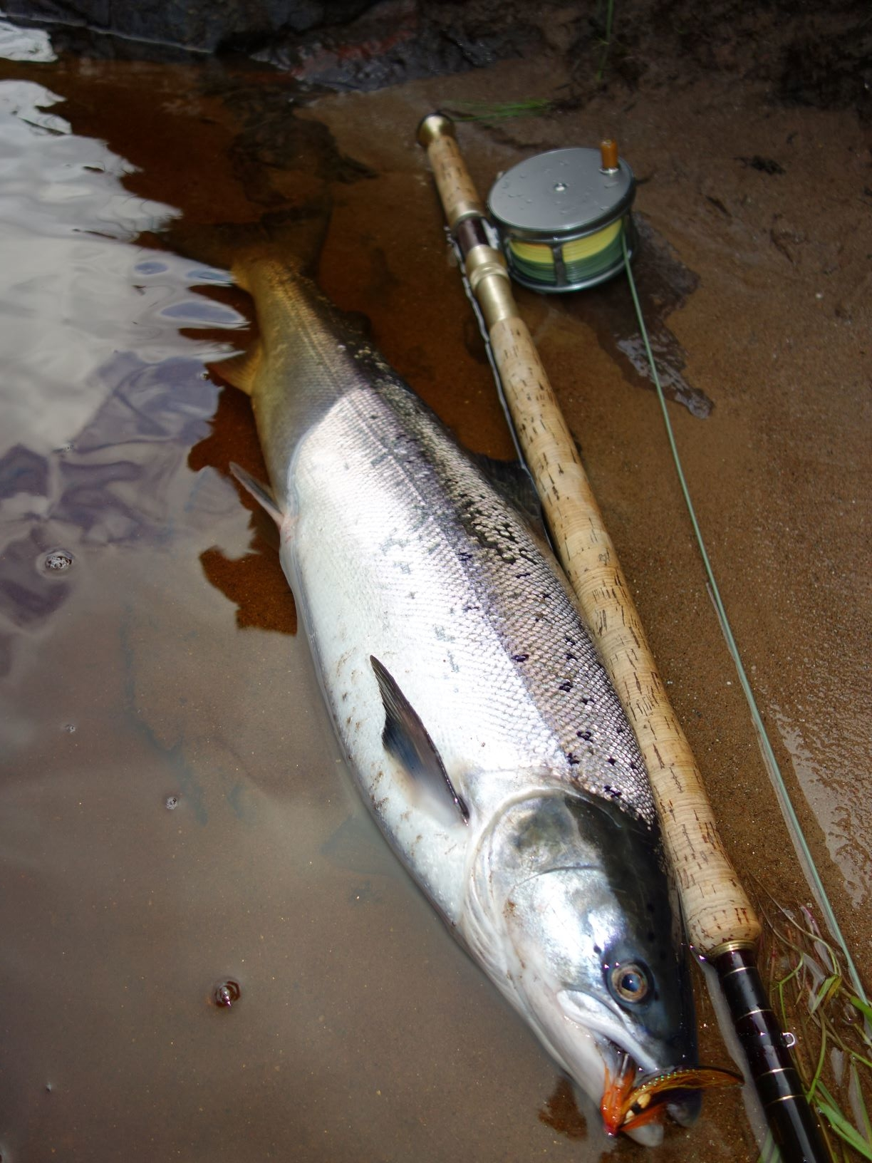 One of two fresh fish from the tail of Craigie Pool, Upper Home Beat, Darnaway, River Findhorn in early June