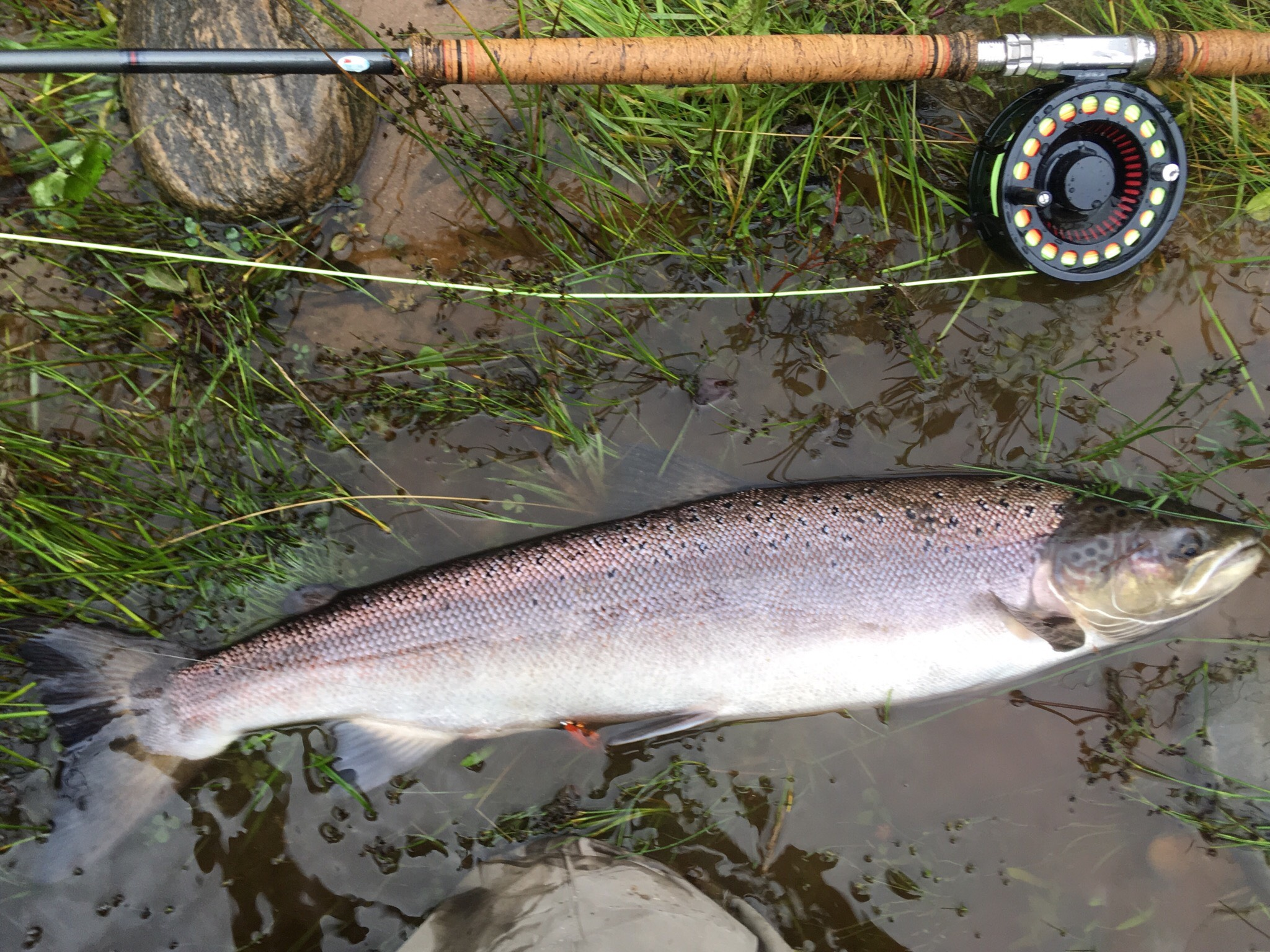 A slightly coloured Summer salmon of around 7 lbs. from Roehillock Pool on Altyre Estate, River Findhorn