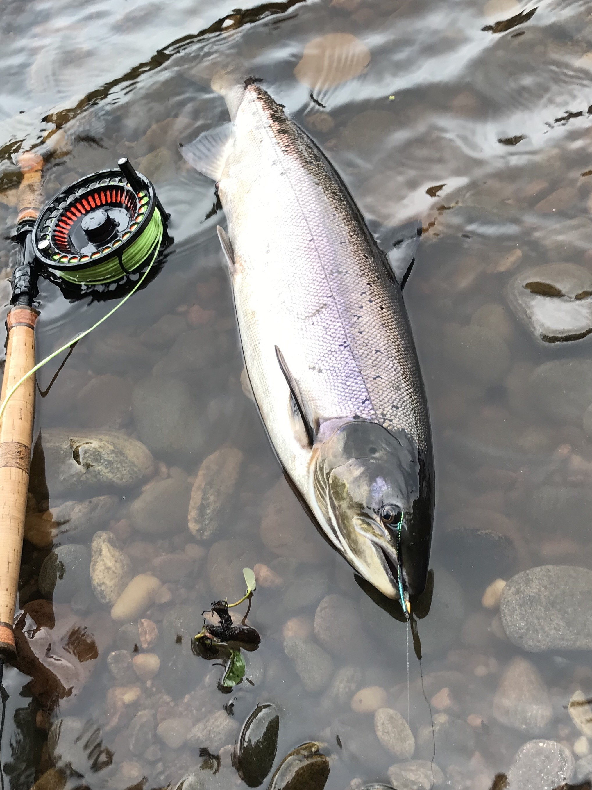 A lovely deep Summer salmon of around 9 lbs. from the St. John's Pool on Altyre Estate, River Findhorn
