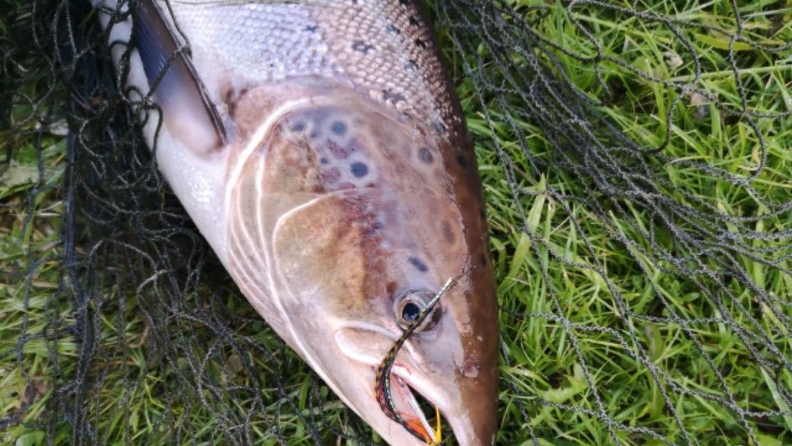 A fish of around 8 lbs. from the Scur Pool on the Meads of St. John at Darnaway, hooked on the LT Secret Sunray Shadow